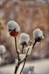 Rose hips and snow (splendid_photography_UK) Tags: snow rose hip rosehip winter nature