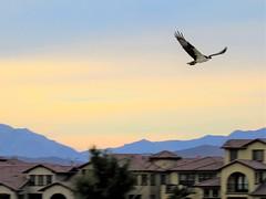 Osprey circles (thomasgorman1) Tags: bird birds osprey flying flight nature baja mexico canon outdoors buildings