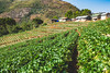 Royal Agricultural Station Angkhang. (Flutechill) Tags: agriculture nature ruralscene hill farm mountain plant field growth vineyard landscape greencolor vine inarow scenics outdoors landscaped food nonurbanscene freshness doiangkhang travel traveldestinations camping adventure forest thailand chiangmai