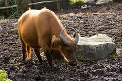 Bosbuffel - African forest buffalo (Den Batter) Tags: nikon d7200 blijdorp dierentuin zoo bosbuffel africanforestbuffalo