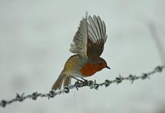 Taking off (lcfcian1) Tags: leicestershire snow snowing robin birds nature animal newtonharcourt newton harcourt wistow animals flight