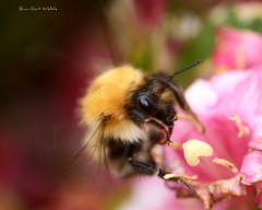 Bee 3 200 (Brian Gort Wildlife Photography) Tags: yellow red pink bee black brian animal insect macro morning flower green garden gardens gort nikon nature naturallight natural native ngc