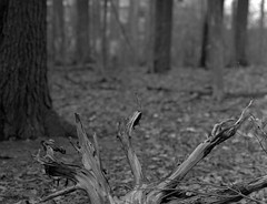 The Claw! (Alex Luyckx) Tags: oakville ontario canada mccraneyvalley trail park greenspace urbanpark nature hike walk lunchhour closeup detail graflex pacemakercrowngraphic crowngraphic presscamera 4x5 largeformat schneiderkreuznachsymmars156210 ilford ilfordfp4 fp4 asa125 bw blackwhite blazinal rodinal 1100 standdeveloped handsoff stand pentaxspotmeterv epsonv700 adobephotoshopcc film filmphotography believeinfilm filmisalive filmisnotdead fp4party