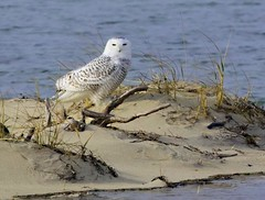 Snowy Owl Nauset 12/3/17 (petertrull) Tags: elements