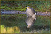 Sparrowhawk (image 2 of 3) (Full Moon Images) Tags: rspb sandy lodge thelodge wildlife nature reserve bedfordshire bird birdpfprey wash washing bathing pool reflection sparrowhawk