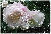 Ich armer Mensch gar nichtes bin (amras_de) Tags: rose rosen ruža rosa ruže rozo roos arrosa ruusut rós rózsa rože rozes rozen roser róza trandafir vrtnica rossläktet gül blüte blume flor cvijet kvet blomst flower floro õis lore kukka fleur bláth virág blóm fiore flos žiedas zieds bloem blome kwiat floare ciuri flouer cvet blomma çiçek zeichnung dibuix kresba tegning drawing desegnajo dibujo piirustus dessin crtež rajz teikning disegno adumbratio zimejums tekening tegnekunst rysunek desenho desen risba teckning çizim