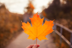 Maple Leaf (A Great Capture) Tags: canadian symbol discoverthedonvalley donvalley toronto parks park path autumn fall leaf mapleleaf agreatcapture explorethedonvalley superpark donvalleytrails streetphotography streetscape street calle woods trees tree arbre forest wald leaves foliage autumnleaves outdoor outdoors light sun sunny sunshine agc wwwagreatcapturecom adjm ash2276 ashleylduffus ald mobilejay jamesmitchell on ontario canada photographer northamerica torontoexplore automne herbst autunno 2017