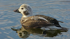The Unexpected Encounter (ebirdman) Tags: longtailedduck longtailed duck clangulahyemalis clangula hyemalis juvenile male