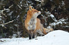 DSC_0167 (sylvettet) Tags: renard fox snow 2017 nature
