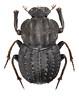 Aulacopris sp. (tuyamagu) Tags: coleoptera beetle insect scarabaeidae scarabaeinae canthonini aulacopris australia scarabaeoidea scarabs entomology