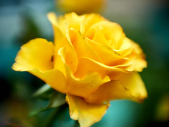 yellow rose, month before winter (uiriidolgalev) Tags: yellowrose monthbeforewinter