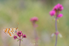 looking for my favorite (Javy Nájera) Tags: javynájera larioja aproximación color flor insecto luz macro mariposa natural naturaleza paisaje vida approach flower insect light butterfly nature landscape life pink