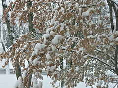 Sunday Colours - Snowy Morning (Pushapoze (nmp)) Tags: westfieldnj winter snow neige arbres tree leaves feuillesmortes explore