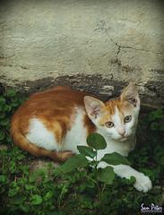 the princess (Sam Petar) Tags: baghdad iraq nikon eye face head animale nature p510 photograph photoshop cat