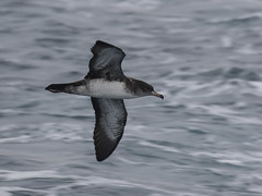 Pink-footed Shearwater, Ardenna creatopus (bruce_aird) Tags: