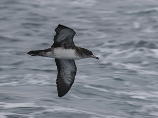 Pink-footed Shearwater, Ardenna creatopus