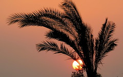 Sunset (Khaled M. K. HEGAZY) Tags: nikon coolpix p520 cairo orabi egypt nature outdoor closeup plant palm tree leaf leaves foliage fern sun sunset sky silhouette yellow brown black