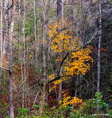 Grey and gold (Lois McNaught) Tags: colours gold autumn fall leaves trees foliage landscape nature ancaster hamilton ontario canada