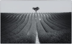 Heart tree of Valensole (Funchye) Tags: valensole france lavenders field lavenderfield tree heart nikon d610 105mm