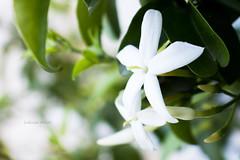 Dias con aroma a jazmin (Letua) Tags: aroma blanco delicado delicate flor flores flowers gardening green jardin jazmin naturaleza nature primavera scent soft spring suave verde white