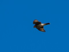 bird of prey (Phil-Gregory) Tags: kestrel nikon sigma18250macro zoom bird light peakdistict birdofprey naturalphotography natural nationalpark naturephotography countryside sky blue