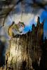 The squirrel's blue hour... (Normand Lafrenière) Tags: animaux squirrel nature bois souche wood strain écureuils