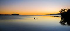 Predawn flight (ajecaldwell11) Tags: dawn golden tide sunrise tree ankh rotorua water newzealand sky lakerotorua seagull caldwell clouds light
