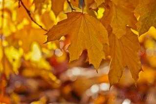 November Maple 7