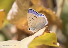 Blue Copper (sbuckinghamnj) Tags: butterfly copper bluecopper grandtetonnationalpark grandteton insect
