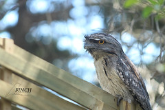 Tawny Frogmouth (Finch_natalia.jw) Tags: fence bird frogmouth tawnyfrogmouth trees
