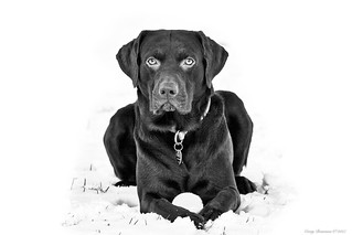 Chocolate Lab in the Snow