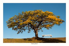 "[ ""Up where we belong"" ] - on YBS 2017 (Marcos Jerlich) Tags: tree bench sky cielo nature naturaleza colorful yellow blue bluesky happybenchmonday hbm contrast countryside country handroanthusalbus spring november flickr 7dwf sorocaba brazil américadosul canon canont5i canon700d efs1855mm marcosjerlich ybs2017"
