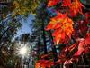 Autumn Sunshine (Eden Bromfield) Tags: autumn sunshine mapleleaves acer canada sunburst trees forest red nature sun edenbromfield sunlight light leaf leaves