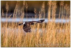 Northern Harrier (Circus cyaneus) (ctofcsco) Tags: raptor canon eos explore esplora pretty renown pic photo iso1000 11000s f8 1200mm canoneos1dmarkiv ef600mmf4lisiiusm20x eos1d mark iv ef600mm f4l is ii usm 20x extender teleconverter grass bird animal hunting flying inflight telephoto supertelephoto 1d 1div mark4 markiv