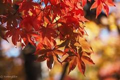 2017 Autumn leaves #5 (Yorkey&Rin) Tags: 2017 autumn autumnleaves em5markii japan japanesemaple momiji november olympus olympusm14150mmf4056ii rin showakinenkouen tokyo uc090078 モミジ゙ 紅葉 昭和記念公園 東京都 日本庭園