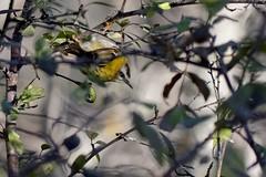 DSC_1834_DxO_pn - Roitelet huppé - Regulus regulus - Goldcrest (Berzou) Tags: roitelethuppé regulusregulus goldcrest oiseau bird nature naturebynikon fantasticnature nikond7200 tamron150600