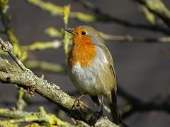 Robin at Harlow Carr (Kniphofia) Tags: robin rhsharlowcarr