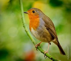A Hungry Robin (PerfectStills) Tags: meath dalganpark photography perfectstillscom nikon perfectstills ireland perched droneservices birds wildlife holly nikkor aubreymartin navan robin