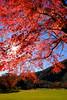 afternoon (peaceful-jp-scenery (busy)) Tags: lakesaiko park autumn leaves leaf maple tree fuji5lakes 西湖野鳥の森公園 秋 紅葉 富士五湖 山梨 日本 fujifilm xt20 xf1855mmf284rlmois