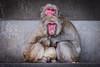 2017-11-17-15h37m42.BL7R3538 (A.J. Haverkamp) Tags: canonef100400mmf4556lisiiusmlens amsterdam noordholland netherlands zoo dierentuin httpwwwartisnl artis thenetherlands japansemakaak japanesemacaque nl