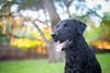 46/52 Nemo (- Una -) Tags: 52weeksfordogs nemo curly curlycoatedretriever ccr retriever curlydog dog animal blackdog blackcurlycoatedretriever