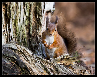IMG_0019 Red Squirrel