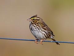 Sparrow on a Wire I (George McHenry Photography) Tags: sparrow birds savannahsparrow southcarolinabirds
