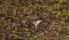 _DSC1996 (AngelPixCn) Tags: angepixcn birds farm feeding green heron jay nikond7100 pond wings yellow cardiff wales unitedkingdom gb