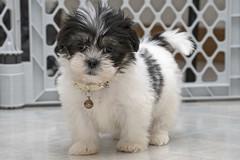 Lola (DJ Wolfman) Tags: shihtzu maltese puppy dog blackandwhite bw pet lola olympus olympusomd em1markii zuiko zd 12100mmf4zuiko micro43 mirrorless