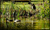 IMG_0854_Fellows (Ajax_pt/Zecaetano) Tags: duks patos heron garça lago lake
