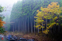 東海自然步道173 (imCherryChen) Tags: 日本 japan 京都 kyoto 高雄 takao たかお 楓 かえで 紅葉 もみじ 東海自然步道 lx5