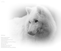 NANUK SEELENWOLF/NANUK SOULWOLF (babsbaron) Tags: nature tiere animals raubtier wildtier predator jäger hunter wolf wölfe wolves wildpark lüneburg lüneburgerheide