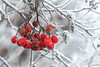 Frozen ravenberries ~ 47/52 | 2017 (mcqal) Tags: frozen raven ravenberries winter christmas snow snowflake branches closeup nikkor105mmf28gvrmicro nikon d800