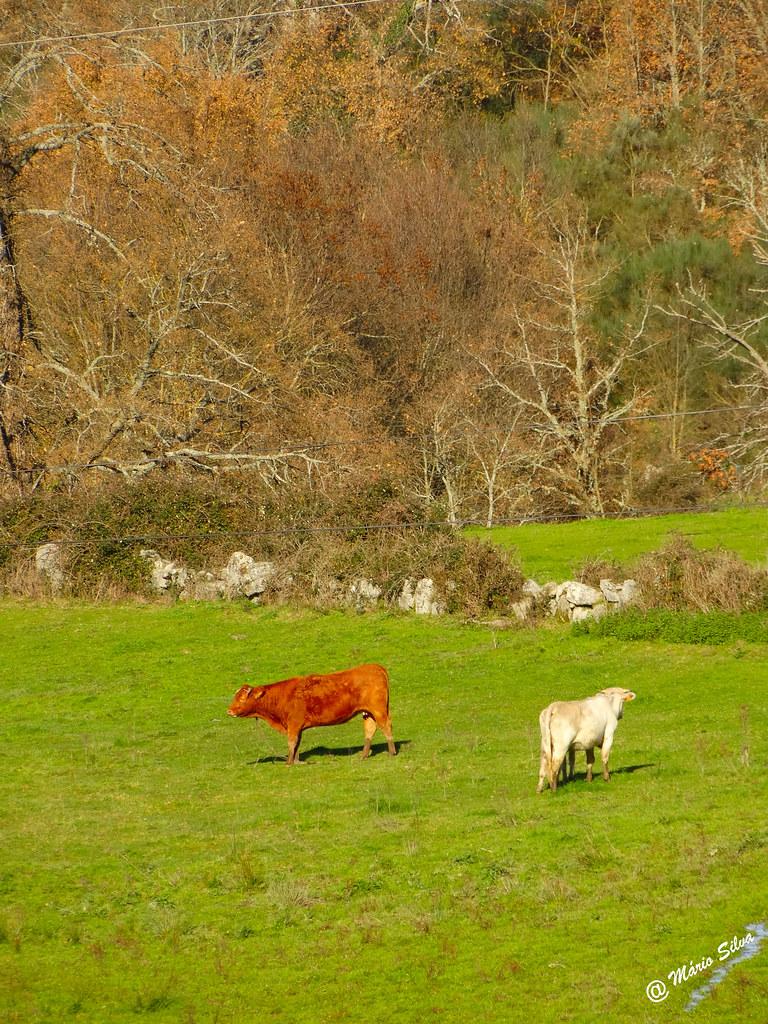 Águas Frias (Chaves) - ... vacas pastando na calmaria do outono...